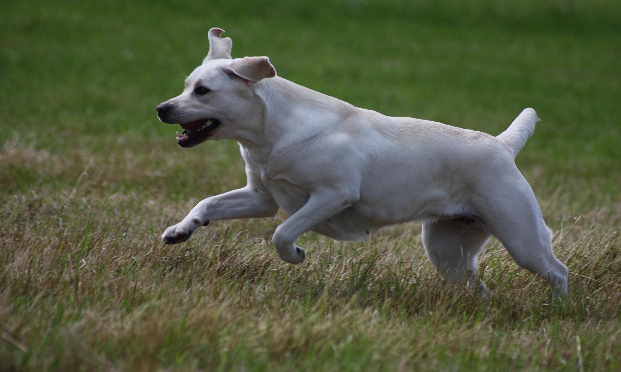 Caramel Cracker - Labrador Retriever