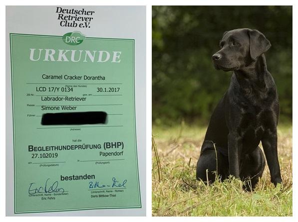 News Caramel Cracker Labrador Retriever